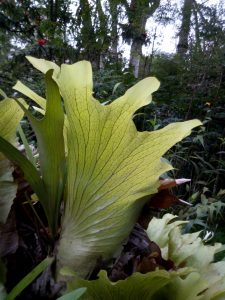 staghorn-fern-3