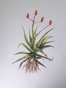 Aloe Ferox botanical drawing